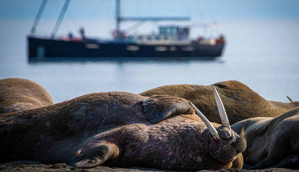 Walrus on the beach, Svalbard - Adrian van der Lee