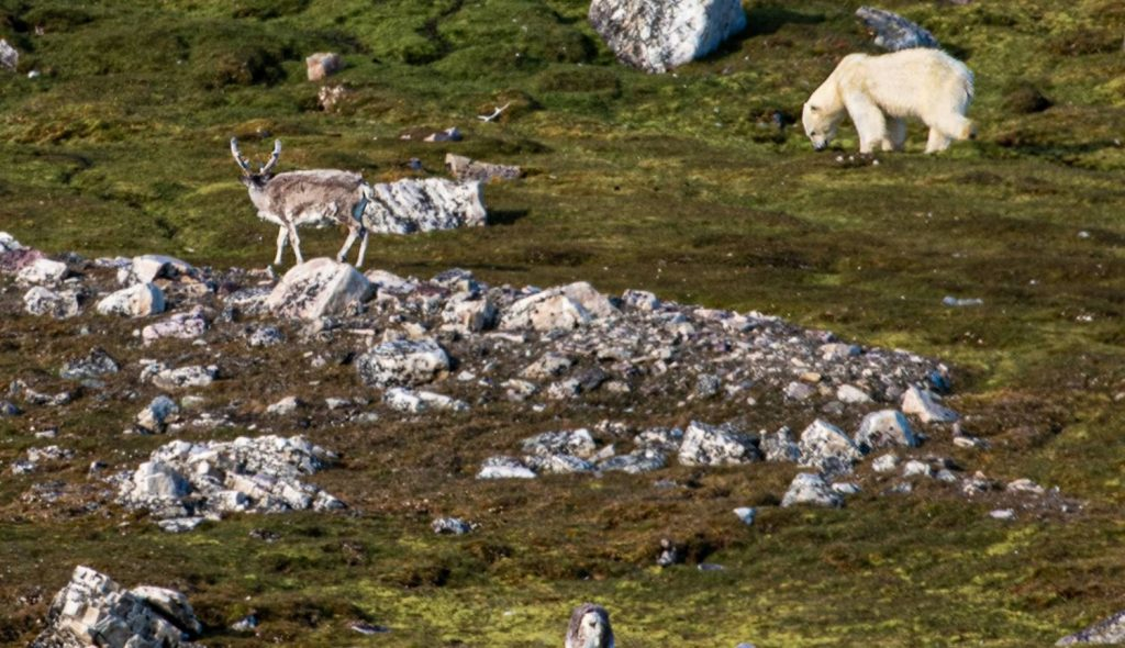 Polar Bear, Svalbard - Adrian van der Lee